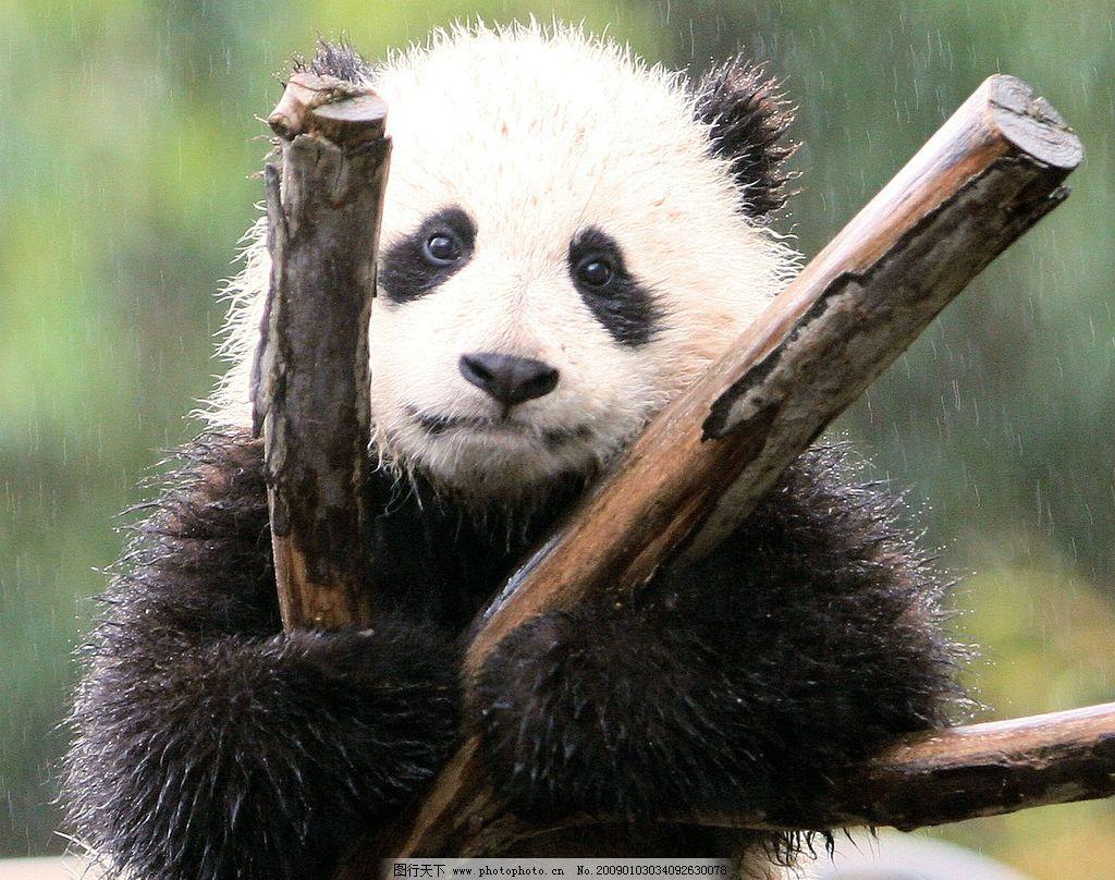 壁纸 大熊猫 动物 1024_808