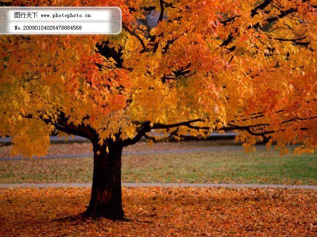 秋天 秋天免费下载 大树 枫叶 落叶 图片素材 风景生活旅游餐饮