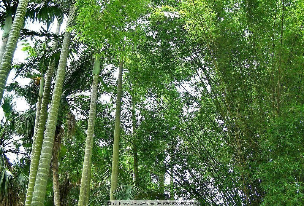 椰子树 竹子图片