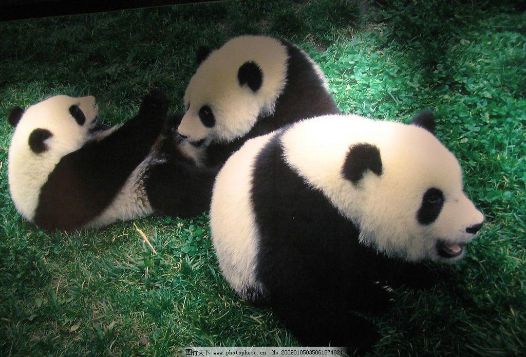 熊猫 国宝 生物世界 野生动物 摄影图库 180dpi jpg