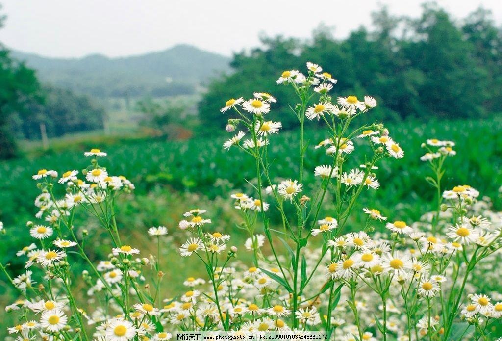 白菊花 山峦 自然景观 自然风景 摄影图库 72dpi bmp