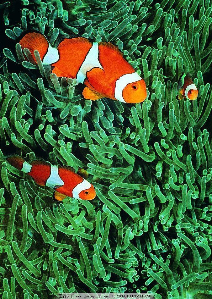 小丑鱼 海底世界 美丽的海底 动物 马林 生物世界 海洋生物 摄影图库
