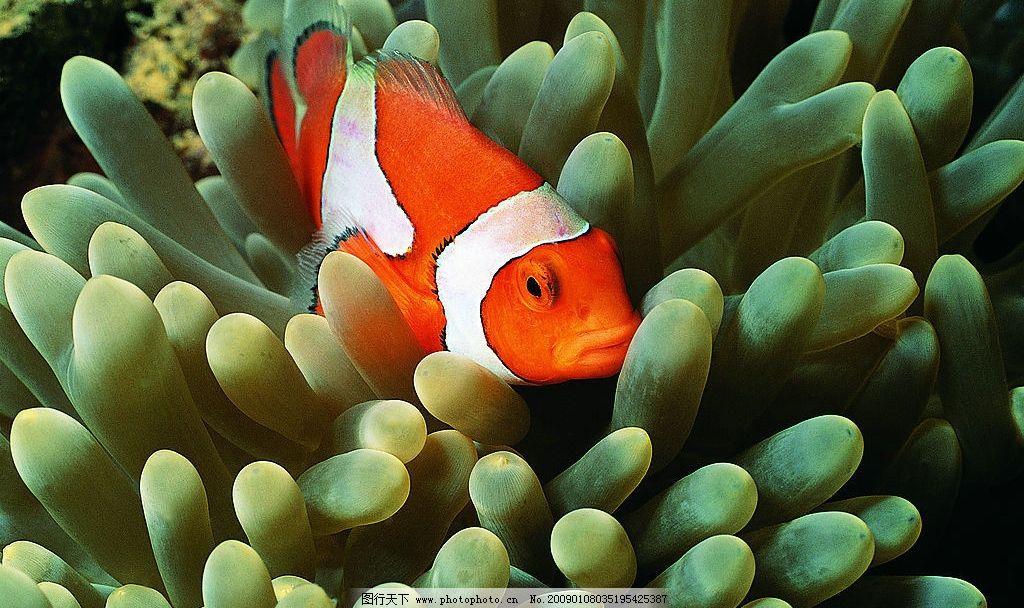 小丑鱼 海底世界 海底动物 马林 摄影图库
