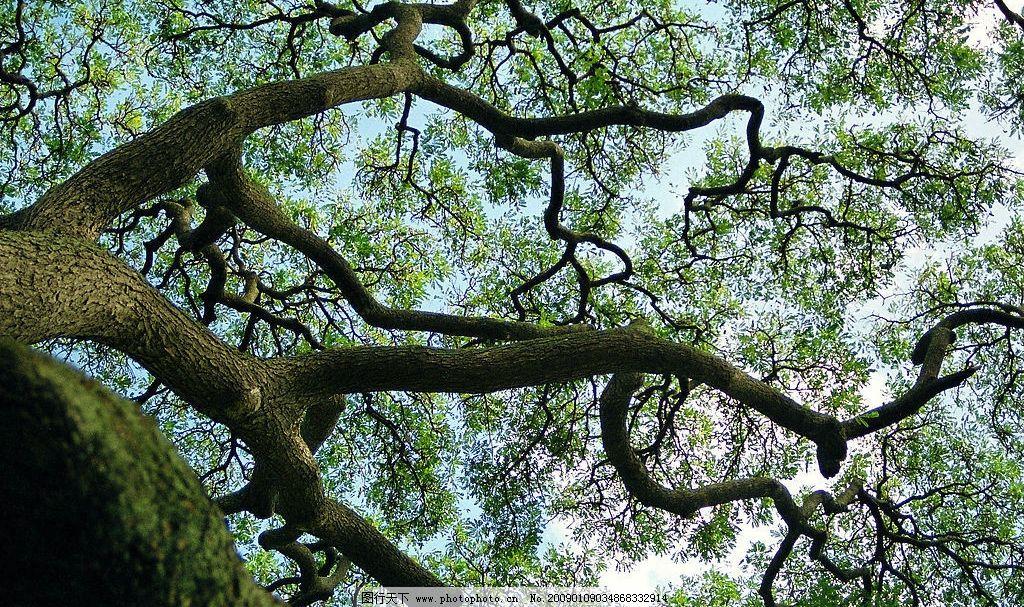 参天大树 大树 树 绿叶