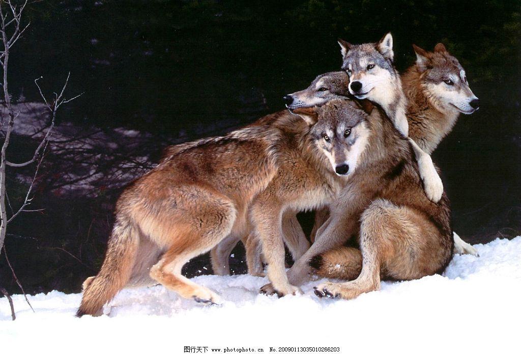 群狼 动物 生物世界 野生动物 摄影图库