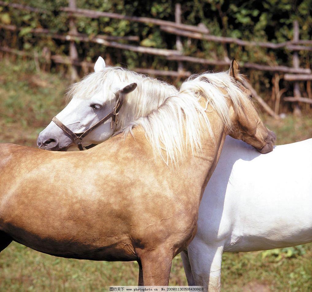 情侣马 草场 马场 天空 生物世界 野生动物 摄影图库