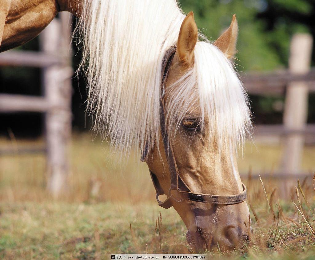 吃草的马 马 马场 草场 马圈 生物世界 野生动物 摄影图库 300dpi jpg