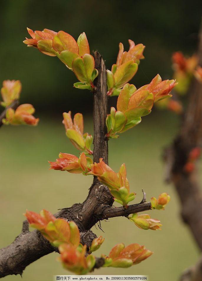 嫩芽 新芽 树丫发芽的树枝 生物世界 树木树叶 摄影图库 300dpi jpg