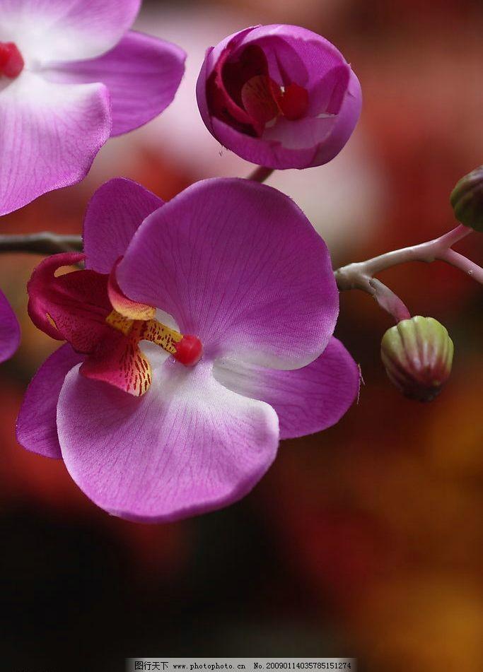 蝴蝶兰 花语 生物世界 花草 摄影图库 350dpi jpg 其他 图片素材