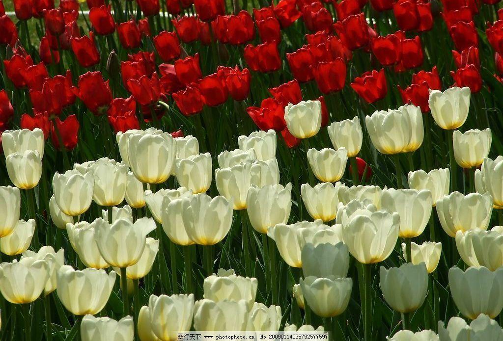 花草 郁金香 自然景观 自然风景 摄影图库 72dpi jpg 生物世界