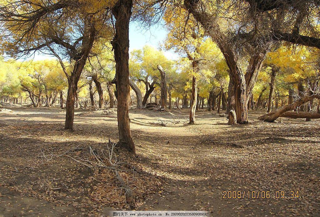胡杨树 内蒙古 额济纳旗 戈壁 旅游 胡杨 摄影 生物世界 树木树叶