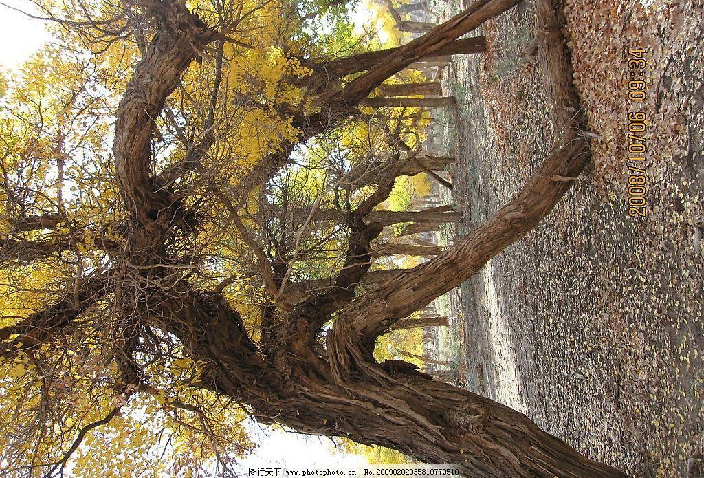 胡杨树 内蒙古 额济纳旗 旅游 摄影 胡杨 生物世界 树木树叶 摄影图库