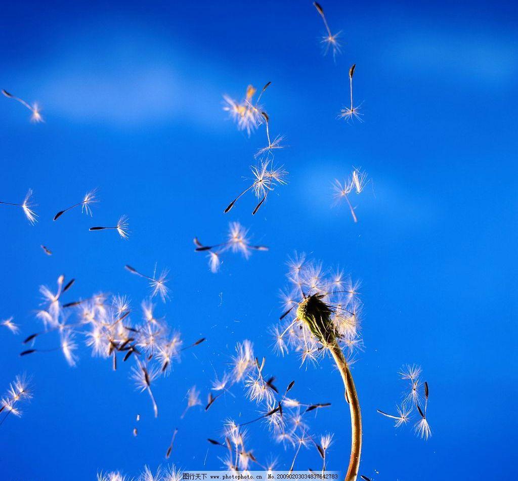 蒲公英 种子 飞翔 蓝色 天空 自然景观 自然风景 摄影图库 72dpi jpg