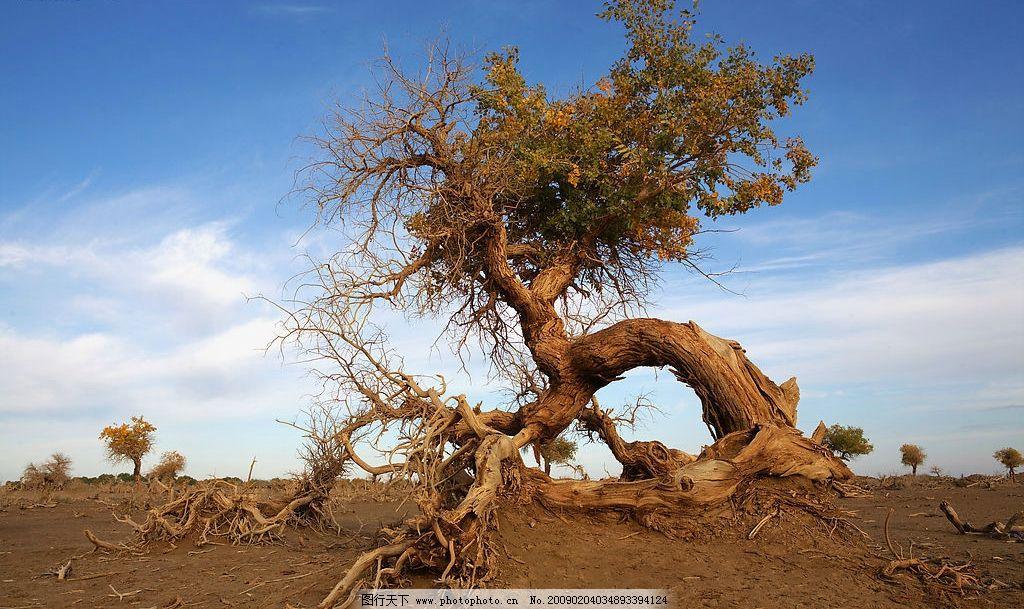 不屈 内蒙古额济纳地区 怪树林 胡杨 自然景观 自然风景 摄影图库 72d