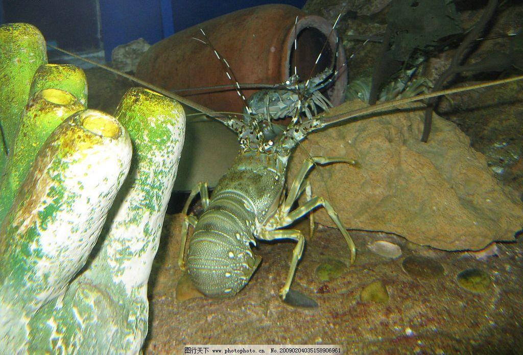 龙虾 海洋 海底 动物 生物世界 海洋生物 摄影图库 180dpi jpg