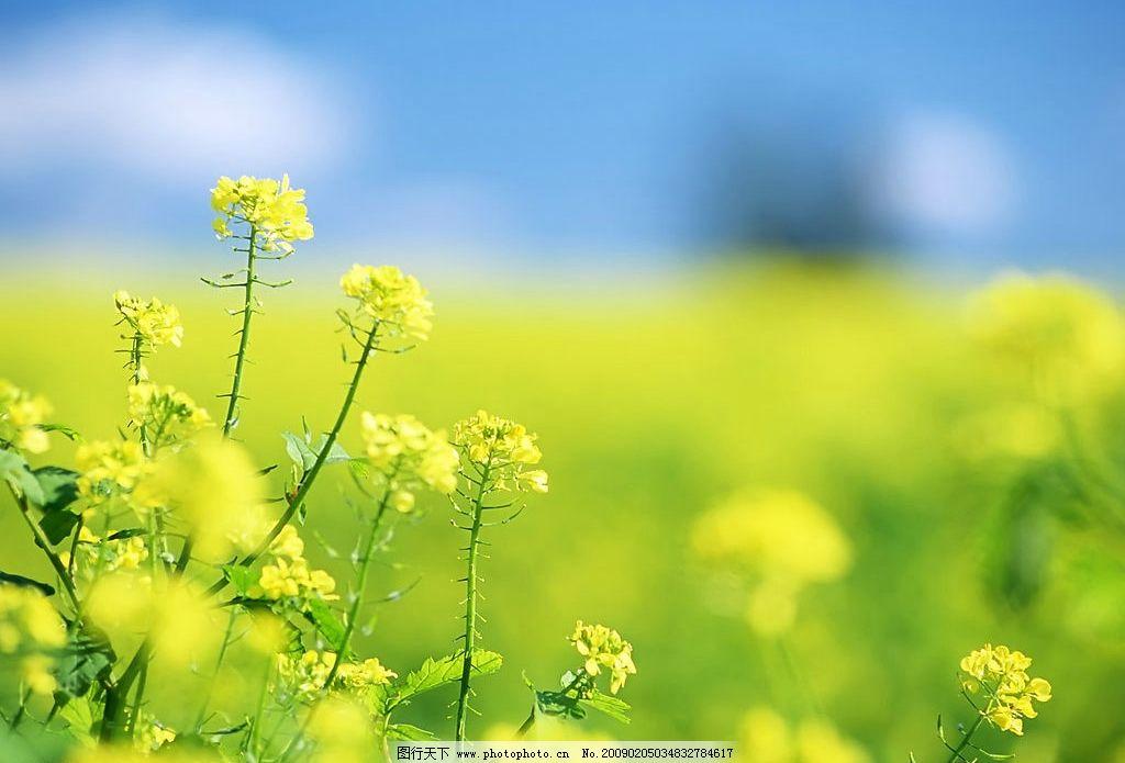 迷人风景 花朵 草地 油菜花 天空 摄影图库