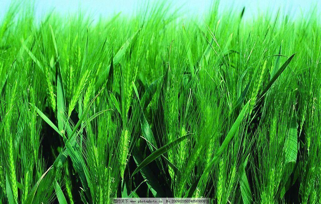 小麦 麦子 绿色 自然景观 自然风景 四季风光 摄影图库 300dpi jpg