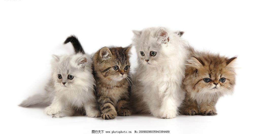 可爱的小猫 小动物 宠物 生物世界 家禽家畜 摄影图库 300dpi jpg