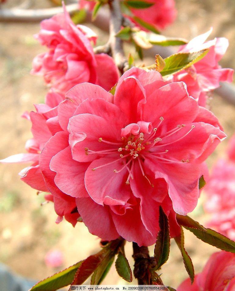 又是桃花开 田野 红花 幼芽 桃树 自然景观 自然风景 摄影图库