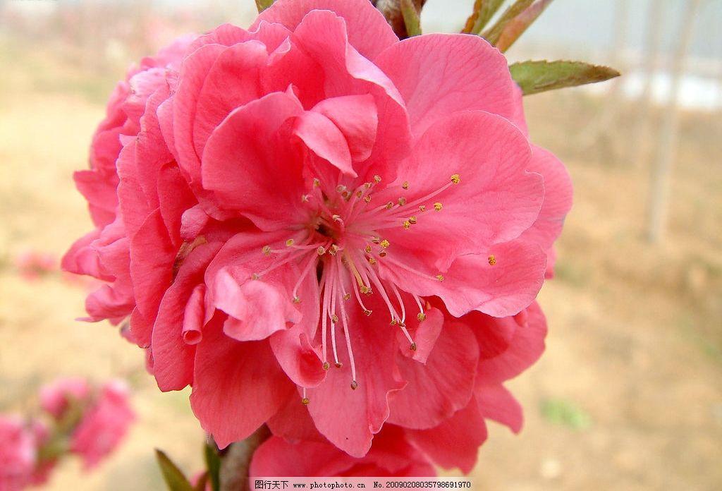 又是桃花开 桃花 花 桃树 红花 田野 桃 自然景观 自然风景 摄影图库