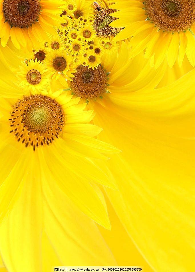 向日葵 葵花 向阳花 底纹边框 背景底纹 设计图库 300dpi jpg