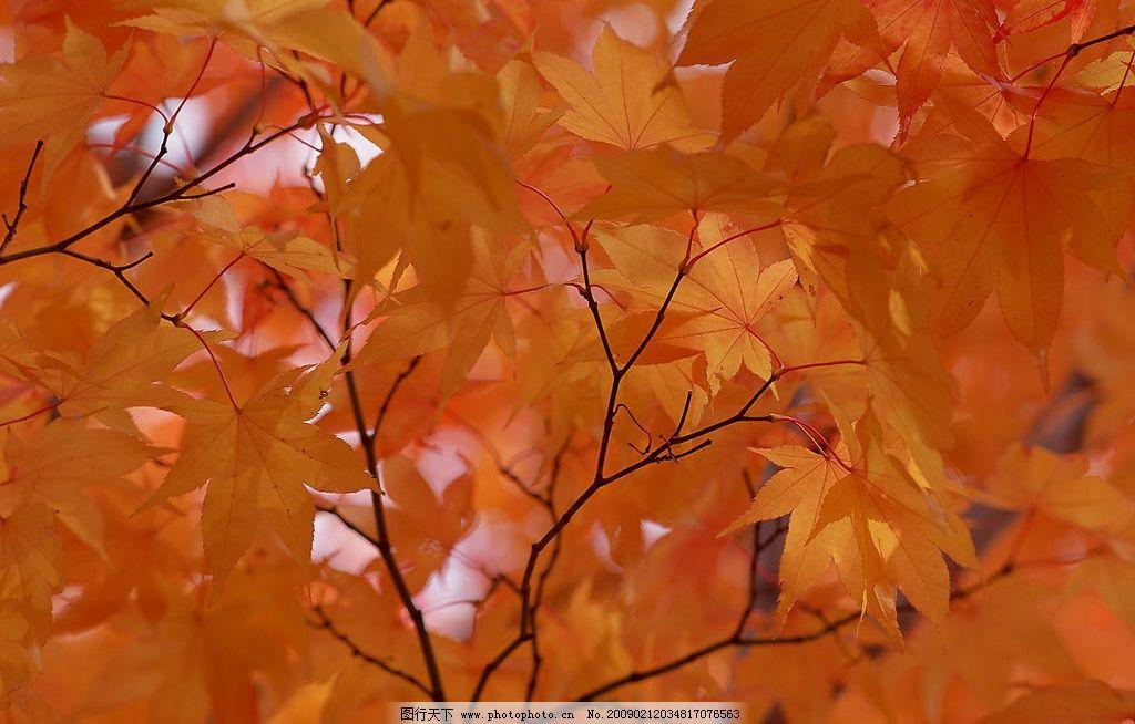 背景 壁纸 枫叶 红枫 绿色 绿叶 树 树叶 植物 桌面 1024_654