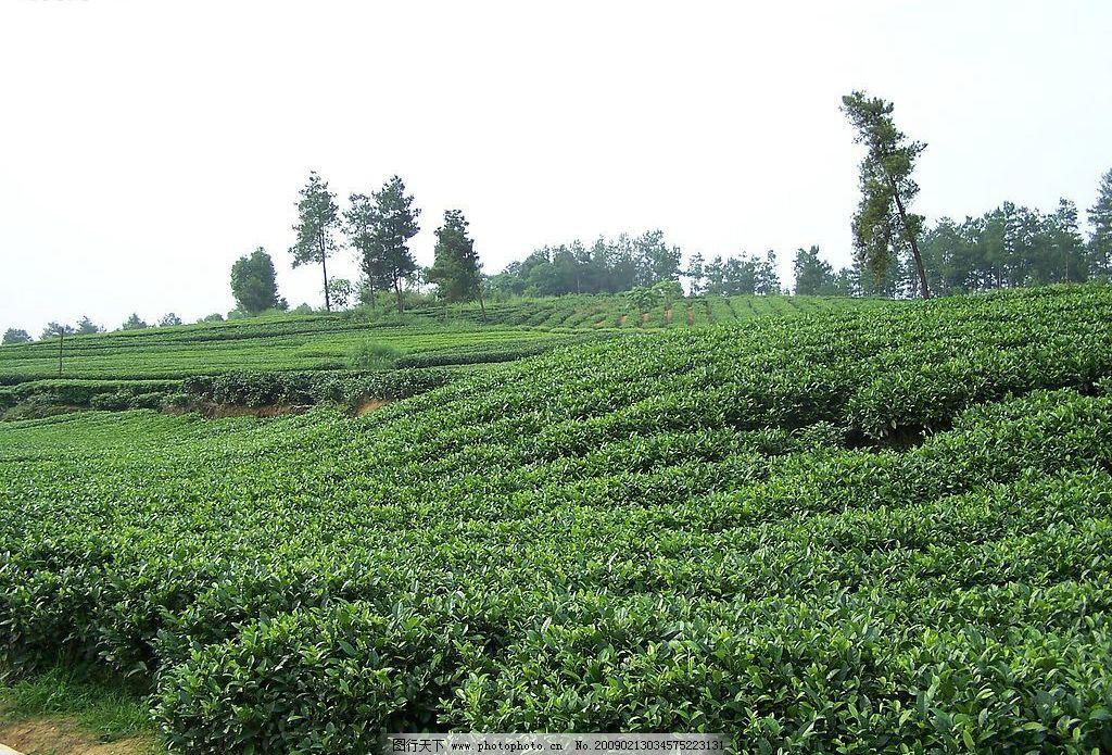茶园 茶山 茶叶 风景 绿色 其他 图片素材 摄影图库