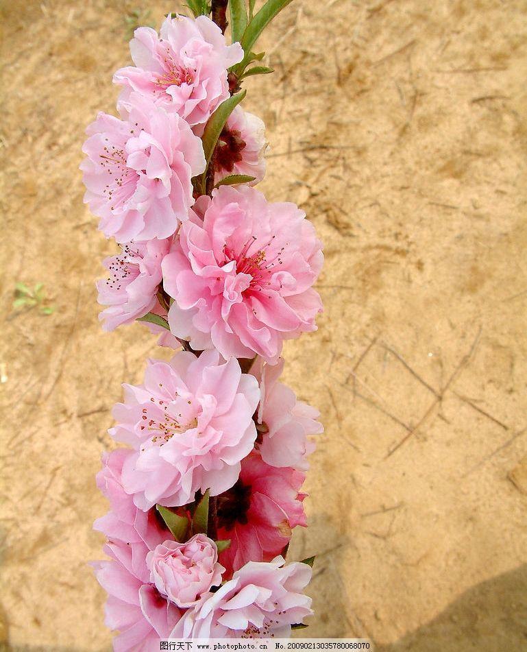 又是桃花开 桃花 花 桃 田野 幼芽 桃树 树 自然景观 自然风景 摄影