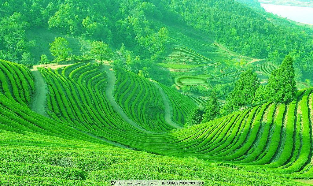 茶山 春天 旷野 风景 自然景观 绿草 高精度jpg素材 田园风光 摄影