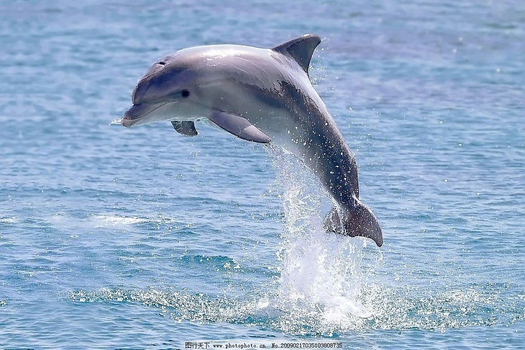 海豚 大海 海洋生物 摄影 海水 海面 生物世界 摄影图库 300dpi jpg