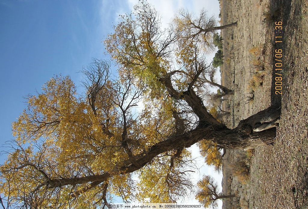 胡杨树 内蒙古 额济纳旗 旅游 戈壁 金秋胡杨 树木树叶 生物世界 摄影