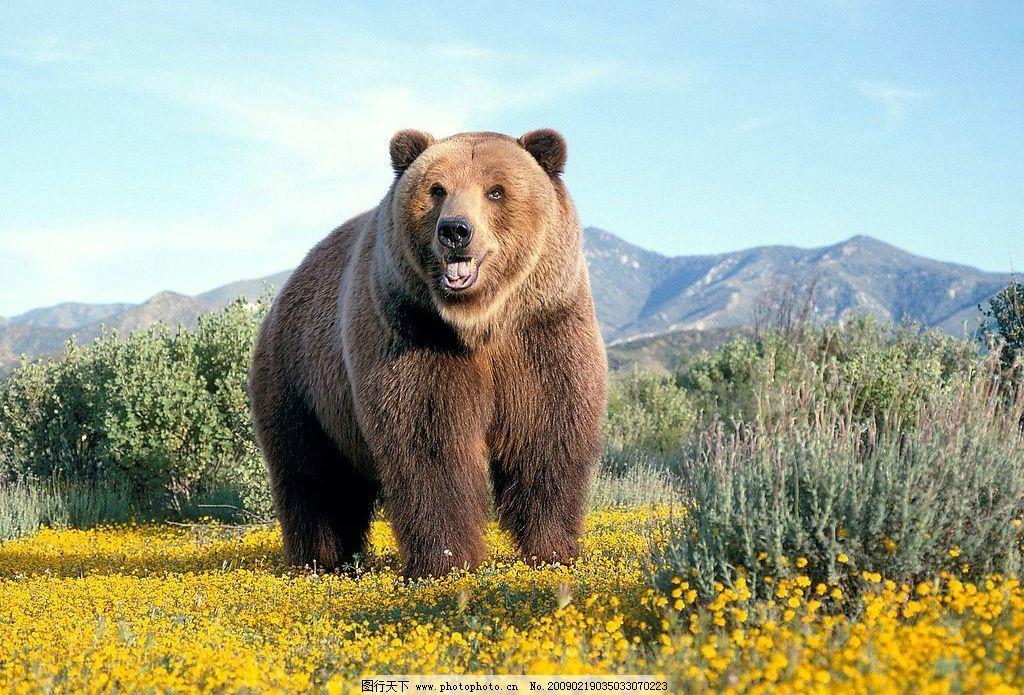 棕熊 野生动物 大熊 生物世界 摄影图库