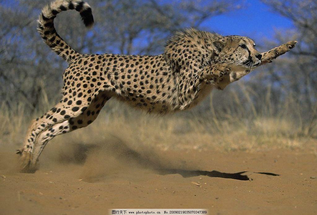 豹子 扑咬 奔跑 野生动物 野性之美 生物世界 摄影图库