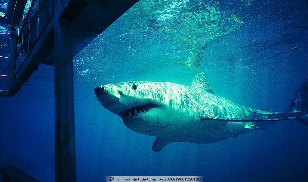 鲨鱼 海底世界 海底动物 海洋 鱼 生物世界 海洋生物 摄影图库 72dpi