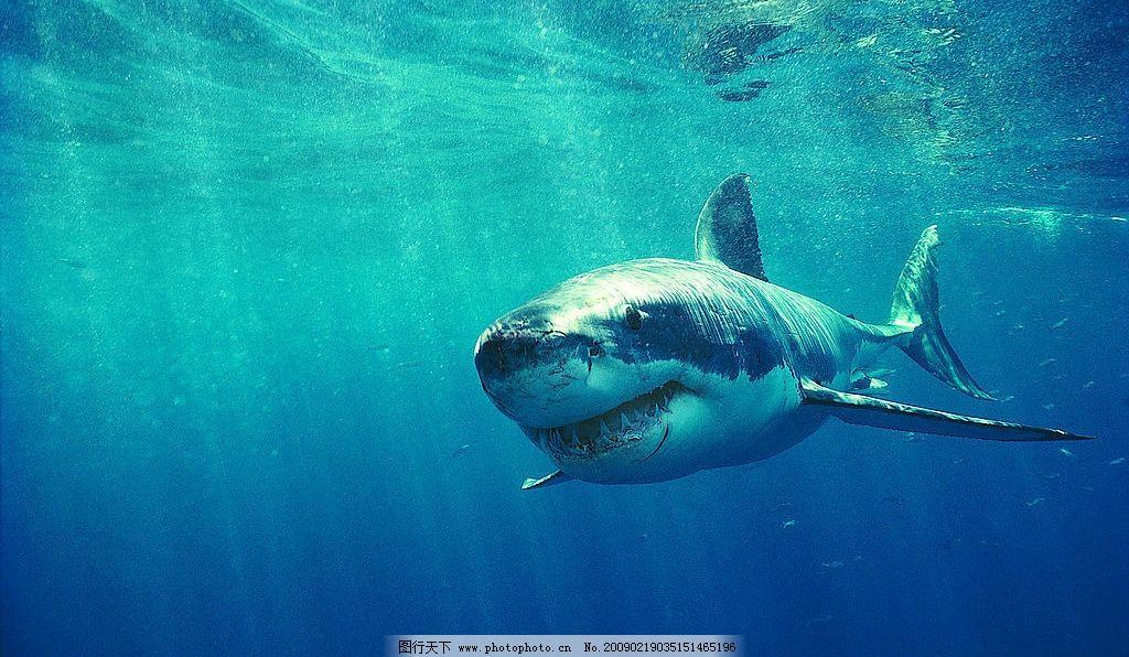 鲨鱼 海底世界 海底动物 海洋 生物世界 海洋生物 摄影图库 72dpi jpg