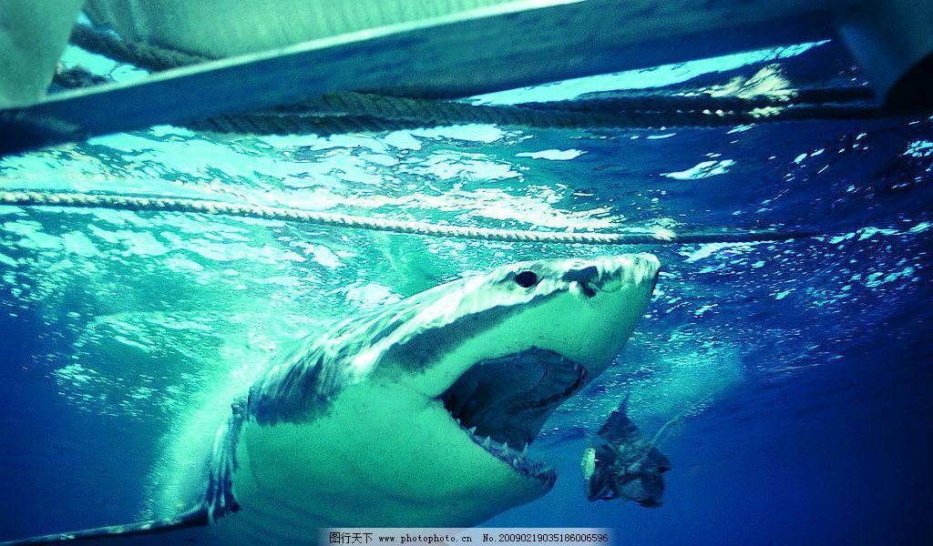 鲨鱼 海底世界 海底动物 海洋 生物世界 海洋生物 摄影图库