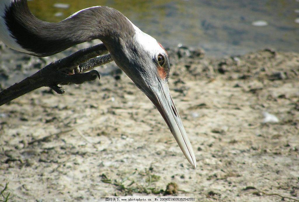 丹顶鹤 丹顶鹤高清特写 生物世界 鸟类 摄影图库 72dpi jpg
