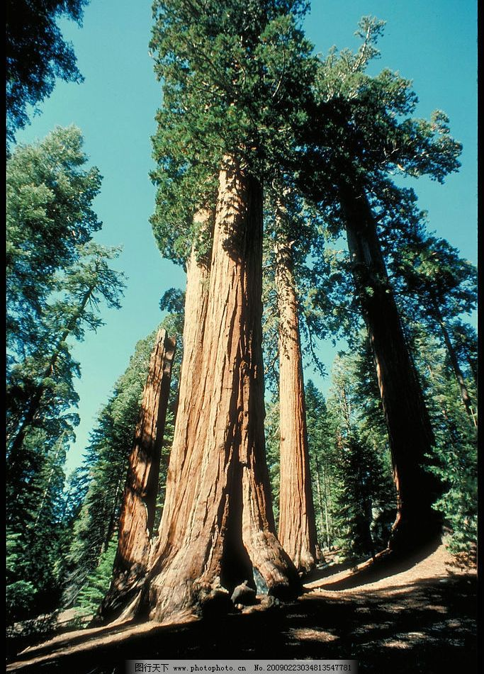 大树 参天大树 森林 树木 绿色 老树 蓝天 自然景观 自然风景 摄影