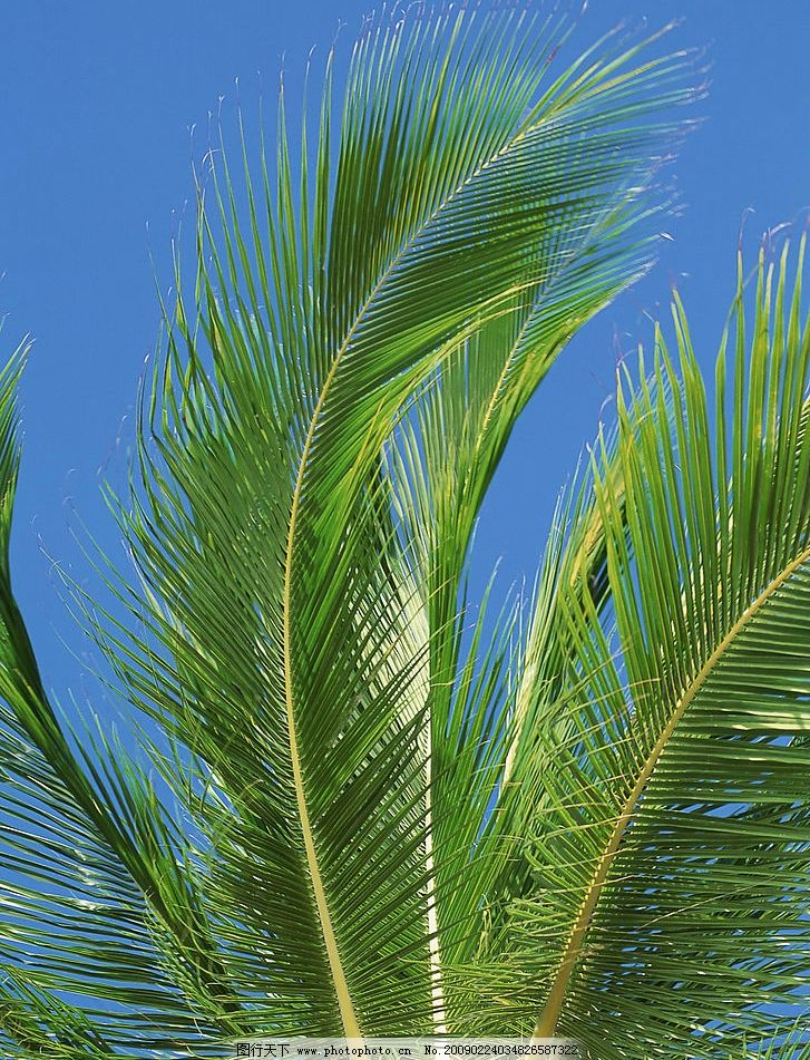 风景 自然风光 自然景观 蓝天 白云 椰子树 阳光明媚 椰子 绿色 天空