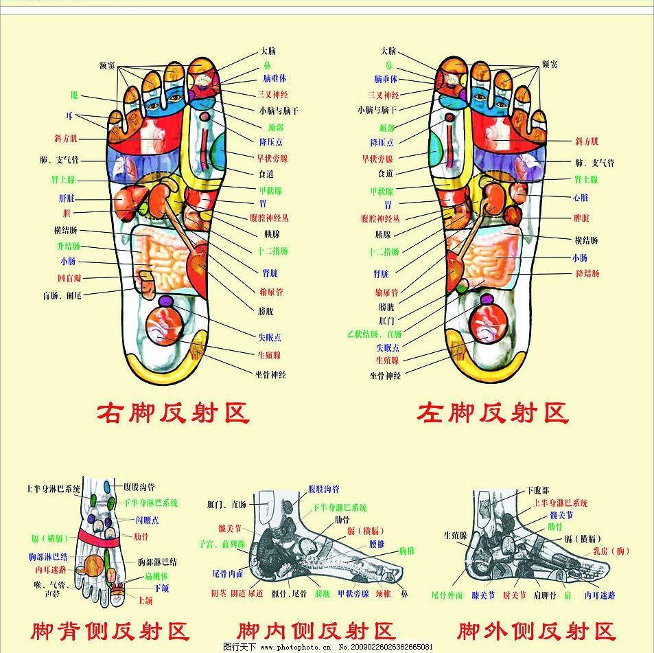 右脚骨医学结构图