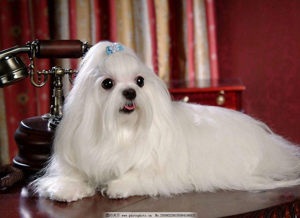 马尔济斯犬 好朋友 狗 犬 雪白的小狗 可爱 名犬 动物 宠物 宠物之狗