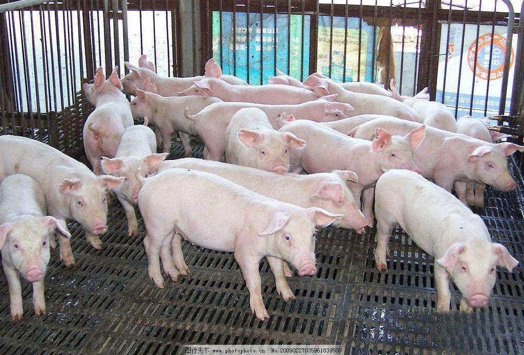 猪场 猪 小肥猪 猪肉 优良猪 生物世界 家禽家畜 摄影图库 120dpi jpg