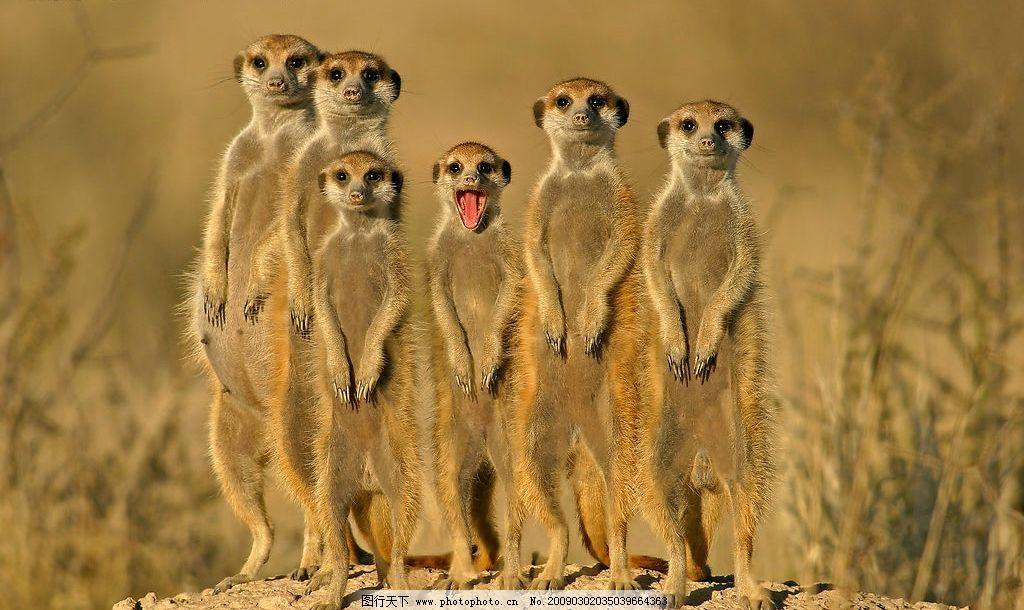 土拨鼠 地鼠 非洲 非洲大草原 草原动物 家庭 兄弟姐妹 生物世界