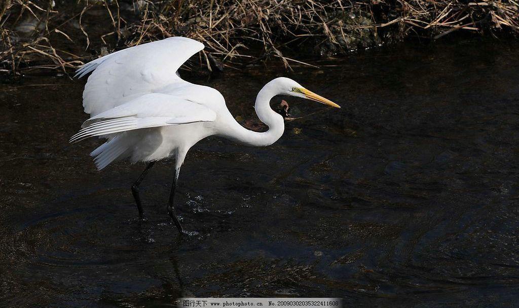 白鹭 鸟类 白色 野生 动物