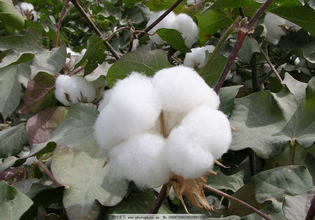 英属西印度群岛棉花