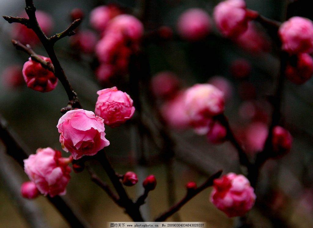 红梅 春天 自然景观 自然风景 摄影图库 150dpi jpg