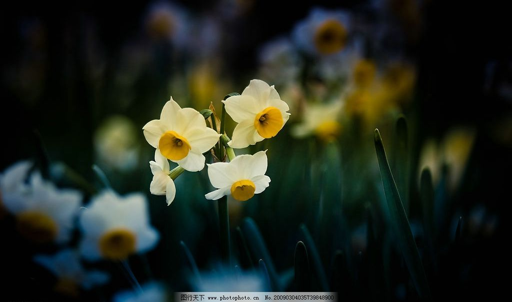 水仙花 宿根花卉 植物 水仙 生物世界 花草 摄影图库 240dpi jpg