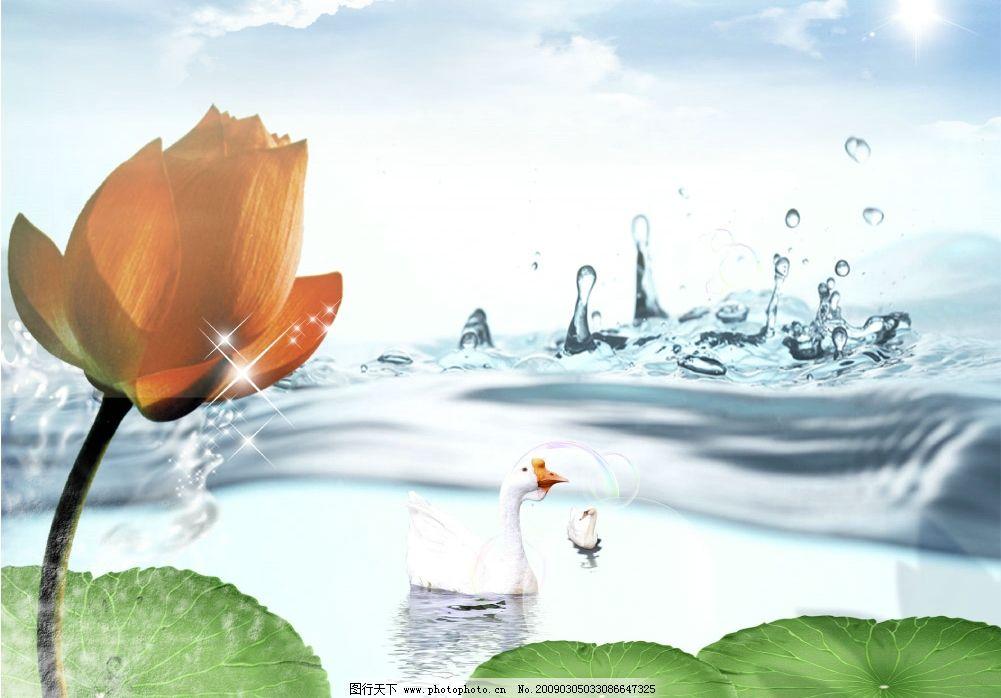 水中荷花 水 荷花 莲花 荷页 鹅 天鹅 水珠 水滴 湖泊 天空 云彩 太阳