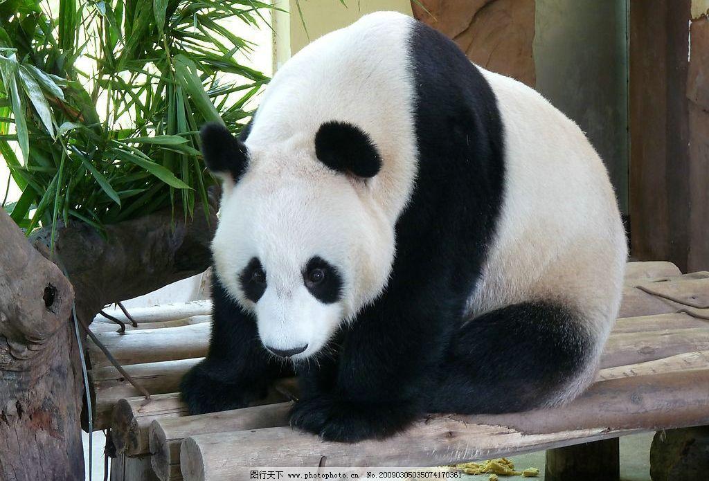 熊猫 国宝 生物世界 野生动物 摄影图库