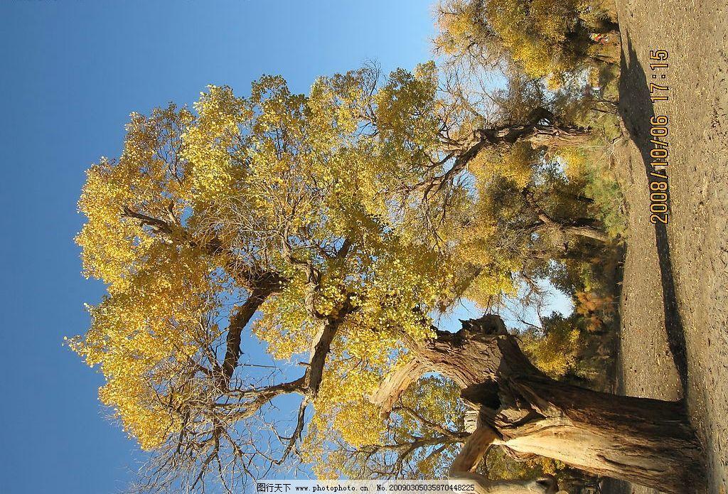 胡杨树 内蒙古 额济纳旗 旅游摄影 树木树叶 生物世界 戈壁 胡杨 摄影